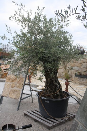Olivenbaum Mediterrane Pflanzen Naturstein Centrum LPM Krostitz bei Leipzig
