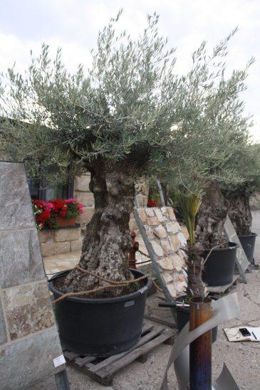 Olivenbaum Mediterrane Pflanze von Naturstein Centrum LPM Krostitz bei Leipzig