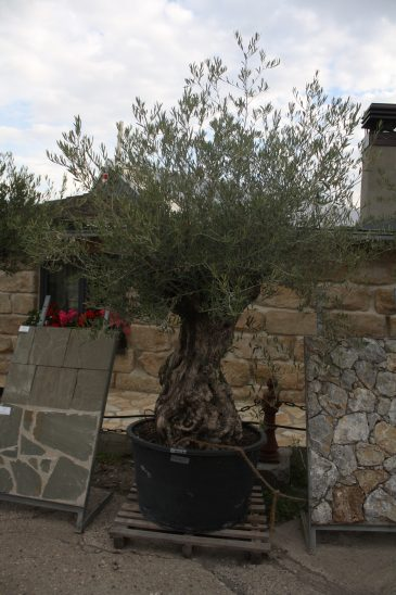 Olivenbaum mediterraner Baum Naturstein Centrum Krostitz bei Leipzig