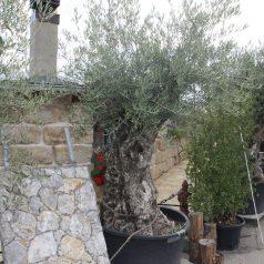 Olivenbaum mediterraner Baum Naturstein Centrum LPM Krostitz bei Leipzig