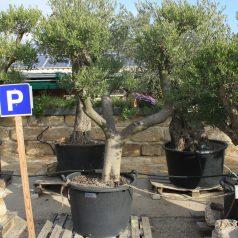 Olivenbaum Formschnitt mediterrane Bäume und Pflanzen Naturstein Centrum LPM Krostitz bei Leipzig