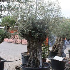 Olivenbaum mediterrane Pflanzen und Bäume Naturstein Centrum LPM Krostitz bei Leipzig