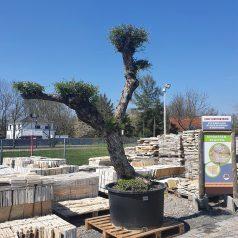Olivenbaum Formschnittgehölz